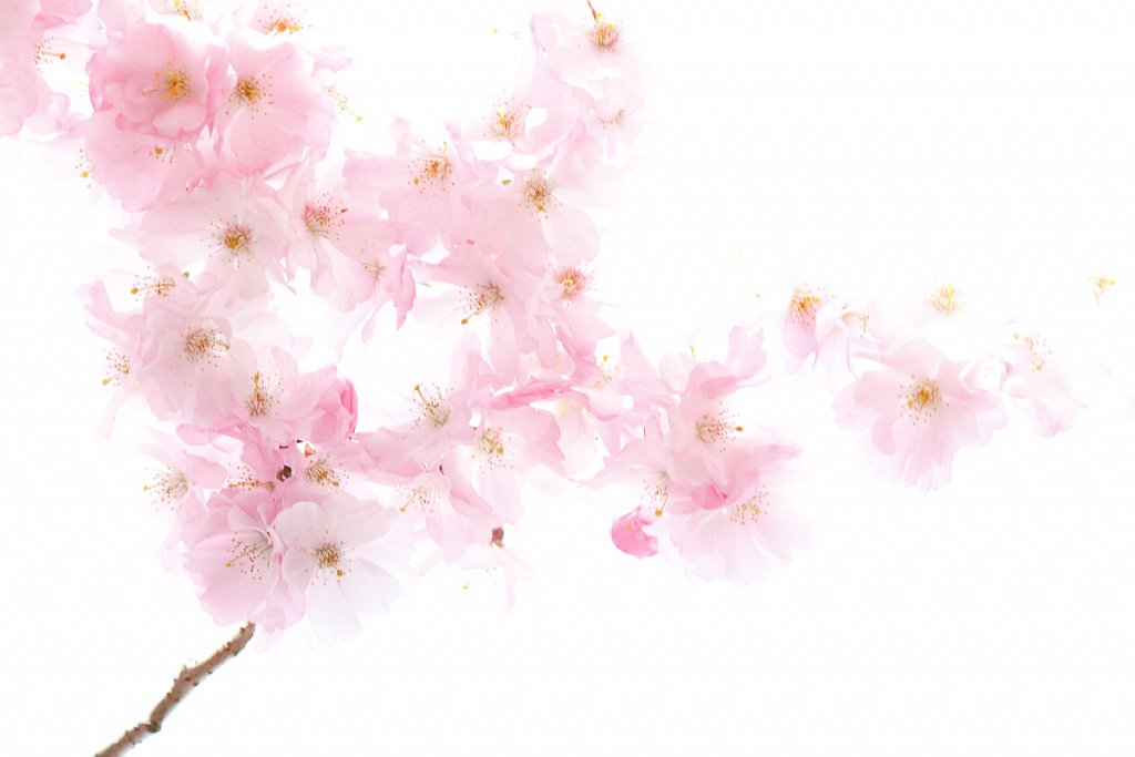Kirschbluten-1530-20120331.jpg